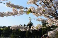 Sakura, kersenblaadjes rondom het meer